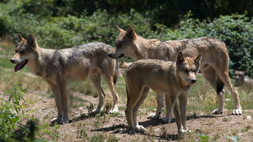 Des feux contre les loups en Savoie