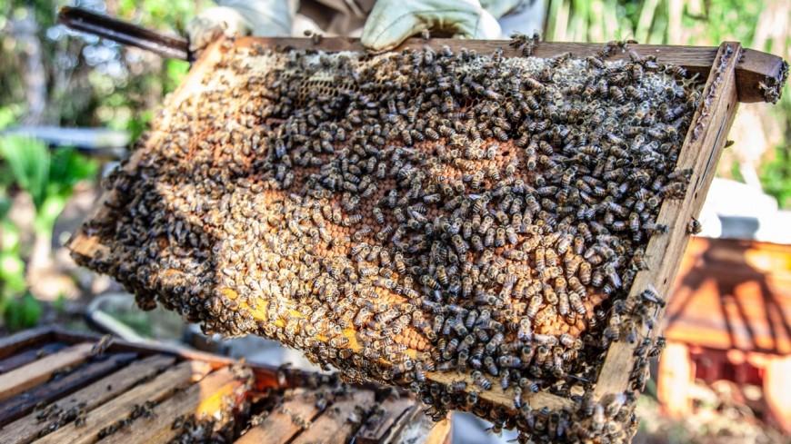Annecy : les abeilles menacées par une bactérie