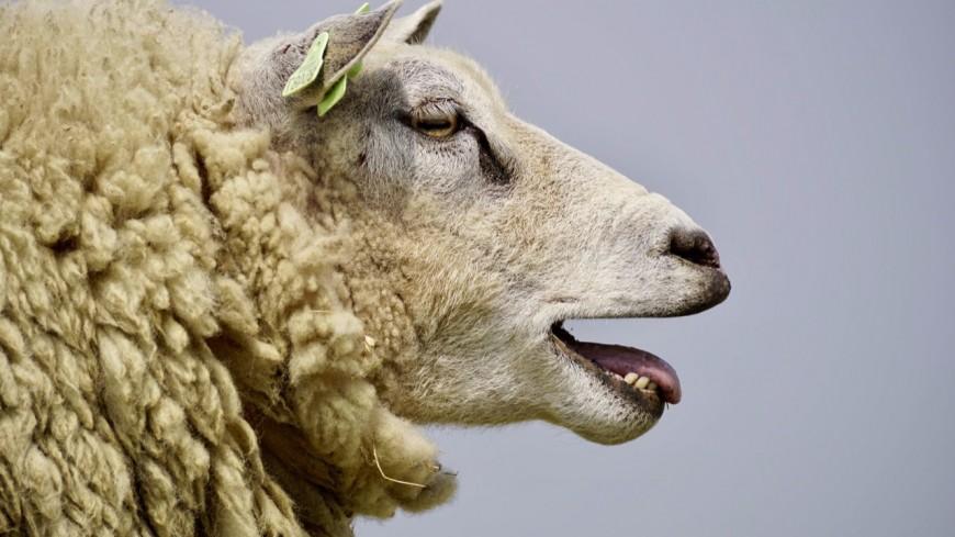 Savoie : 7 000 moutons bloqués par la neige !