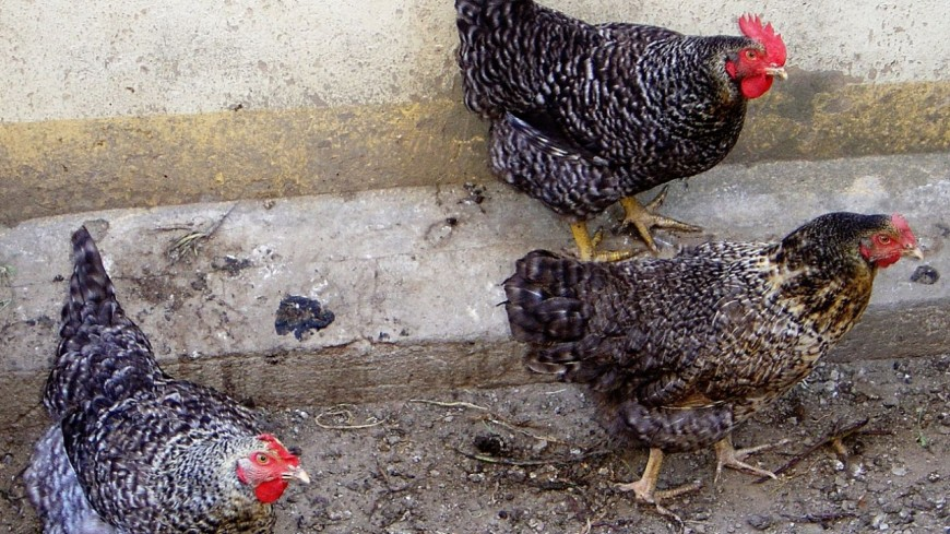 Le risque de grippe aviaire abaissé en Haute-Savoie