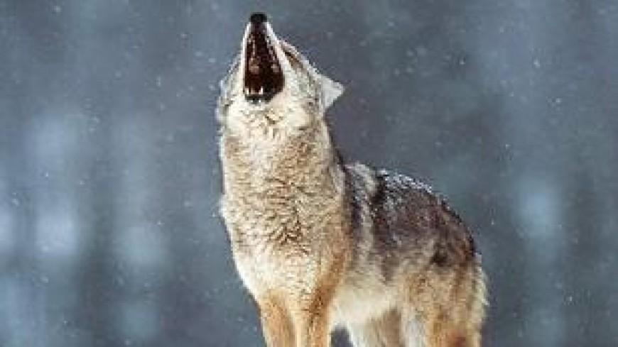 Deux loups abattus ce week-end en Savoie