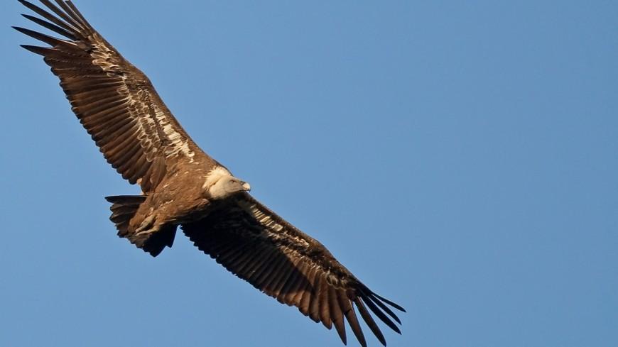 Le vautour sévit dans le massif des Aravis