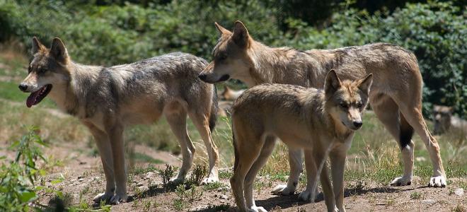 10 loups supplémentaires vont être tués cette année