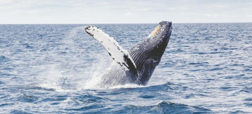 Insolite - Un pêcheur avalé, puis recraché par une baleine !